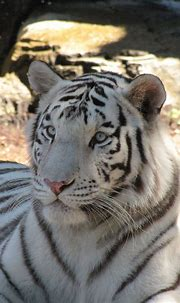 White tiger, Lowry Park Zoo, Tampa | Animals, Beautiful ...