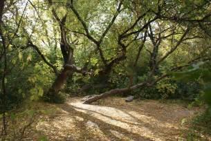 file acer negundo trees jpg
