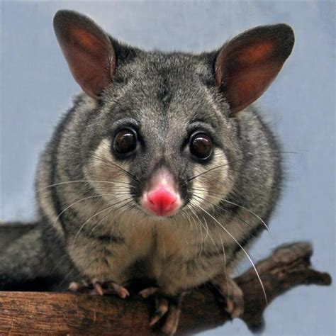 Possum Images Possum Facts History Useful Information And Amazing Pictures