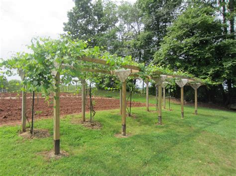 grape vine trellis build grape trellis thehletts