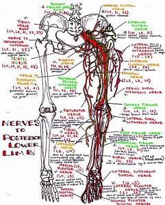 Nerves To Posterior Lower Limb
