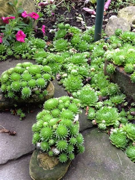 succulents as ground cover hens and chicks pretty little succulent ground cover ground cover pinterest pretty