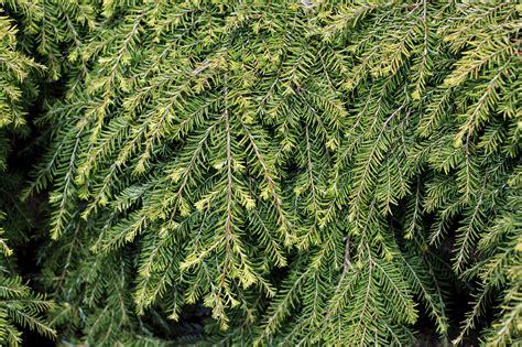 conifers photo galleries mcbg   fort bragg