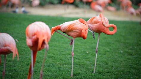 flamingos sleep  standing   leg science aaas