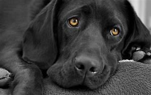black dog wallpaper - HD Desktop Wallpapers | 4k HD
