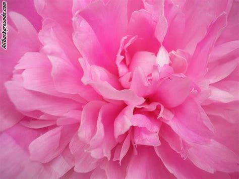 Pink Animated Wallpaper - animated flowers wallpapers wallpapersafari