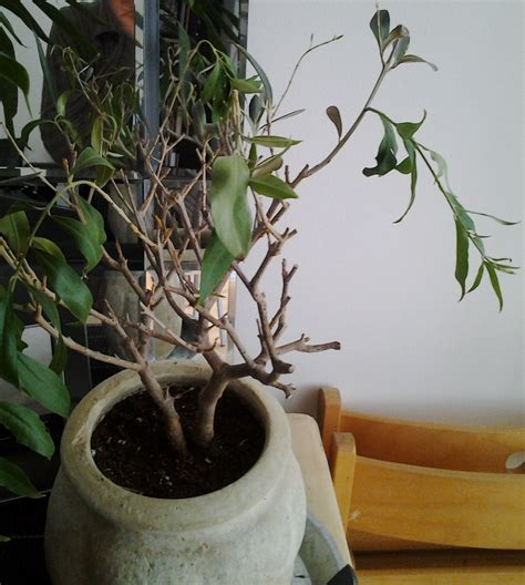 comment arroser un olivier en pot sedgu