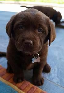 Blue eyes on a chocolate lab | ANIMALITOS | Pinterest ...