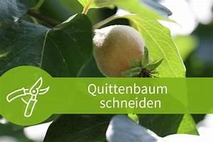 Eibe Schneiden Beste Zeit : quittenbaum schneiden schneiden ab dem f nften jahr ~ Frokenaadalensverden.com Haus und Dekorationen