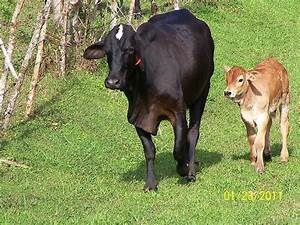 Black Cow And Baby Calf by William Patterson