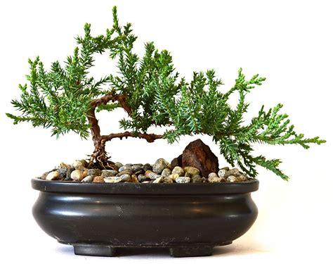 bonzai tree design decoration