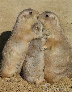 Trio Of Prairie Dogs - Group Hug Stock Photography - Image ...