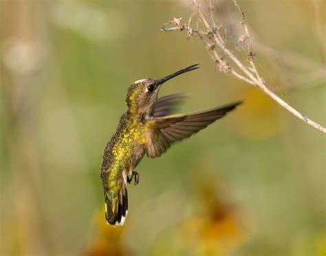 hummingbirds eat bugs review nectar
