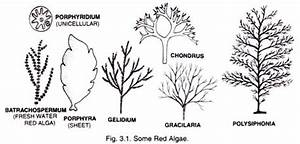 Red Algae: Characters and Types (With Diagram)