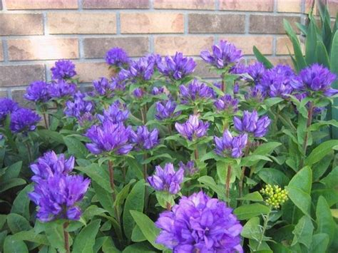 what is this purple perennial flowers forums