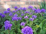 Best 25 ideas about purple flowers identification find what you purple perennial flower identification mightylinksfo