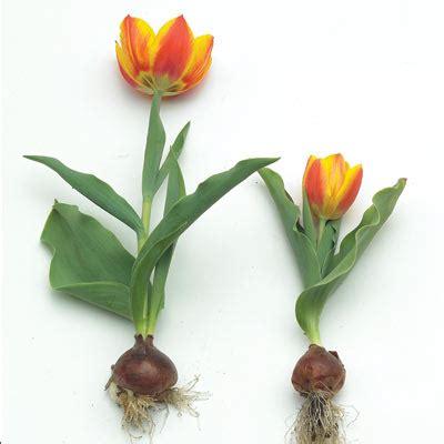 planting tulip bulbs growing tulips planting tulip bulbs high country gardens