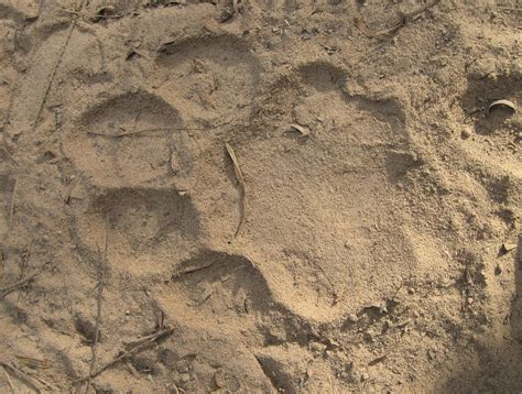 jaguar footprint pantanal  lion design footprint