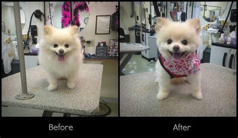 Pin Before And After Pomeranian Haircuts On Pinterest