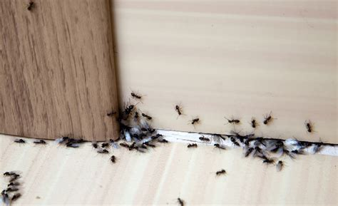How To Get Rid Of Ants Inside The House by 7 Steps To Getting Rid Of Ants Inside Your House Budget