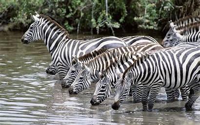 Nature Animals Zebras Zebra Rare Water Animal