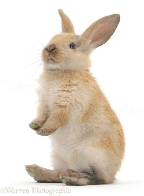 Young rabbit standing up photo - WP28776