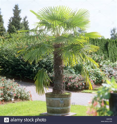 windmill palm in pot trachycarpus fortunei stock photo royalty free image 19534396