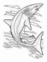 Coloring Sharks Pages Easy Children Printable Adult Justcolor sketch template