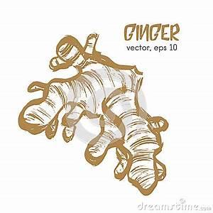 Racine De Gingembre : illustration esquiss e de racine de gingembre illustration ~ Melissatoandfro.com Idées de Décoration