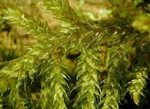 About Bryophytes