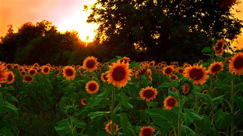 wallpaper sunflowers field  sunset  hd picture
