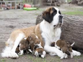view ad saint bernard puppy for sale michigan ypsilanti