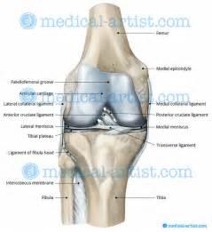 Anterior Knee Anatomy