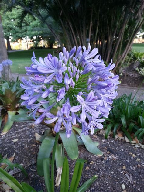 how to divide agapanthus plants 1000 ideas about agapanthus praecox on pinterest agapanthus africanus african lily and