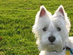 Best Dog Food for Westies: Fuel for Energetic Terriers