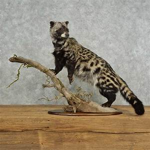 African Civet Cat Mount For Sale #16698 - The Taxidermy Store