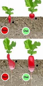 Culture Des Radis : comment planter des radis ~ Melissatoandfro.com Idées de Décoration