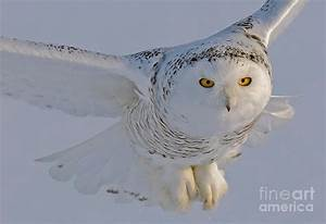 Snowy Owl In Flight Photograph by Scott Linstead