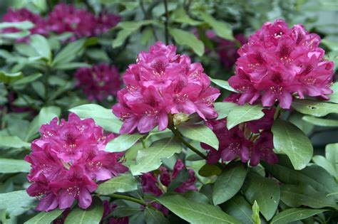 rhododendron planting tips the gardener s how to pruning a rhododendron cerny s greenhouse