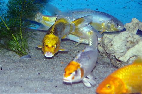 poissons eau froide vente magasin uniquement de bassins ko 239 poissons shubunkin