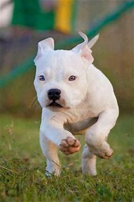 Best White Pitbull Ideas And Images On Bing Find What Youll Love