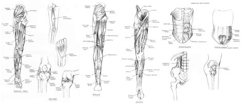 Broadly considered, human muscle—like the muscles of all vertebrates—is often divided into striated muscle. muscles of the upper body diagram - ModernHeal.com
