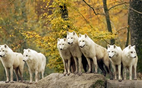 Wallpaper Hd Animals Wallpaper Pack - wolf pack wallpaper wallpapersafari