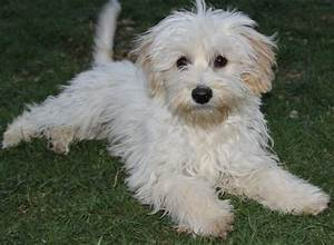 OMG so cute! Duncan Havanese & Terrier Mix • Young • Male ...