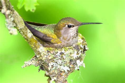 fascinating hummingbird facts hummingbird hummingbird