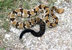 Canebrake Rattlesnake Louisiana