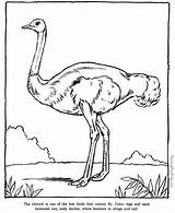Coloring Pages Ostrich Zoo Printable Animal Animals Printing Help Drawing Print sketch template