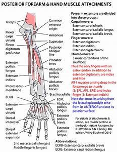 Instant Anatomy - Upper Limb - Areas  Organs