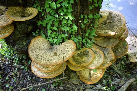 Entstehen Pilze Im Garten by Pilze An B 228 Umen 187 Gartenbob De Der Garten Ratgeber