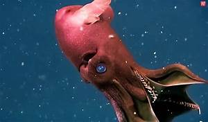 Vampire Squids: Main facts about these striking creatures
